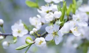 春风来 梨花开 中国蒲城第三届梨花文化旅游节即将开幕