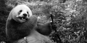 全球唯一圈养棕色大熊猫首次完成自然交配